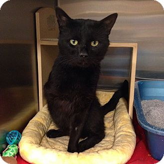 Domestic Shorthair Cat for adoption in Muncie, Indiana - Doc