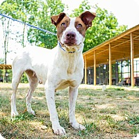 Adopt A Pet :: boxer mix - Jasper, AL