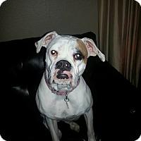 Adopt A Pet :: Ollie2016 - Las Vegas, NV