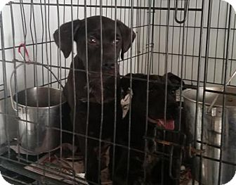 Labrador Retriever Mix Dog for adoption in Ringoes, New Jersey - Puppies - black lab mix