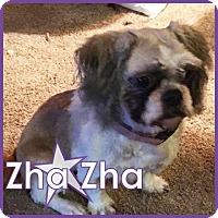 Adopt A Pet :: Zha Zha - Excelsior, MN