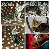 Adopt A Pet :: Rose - Arlington/Ft Worth, TX