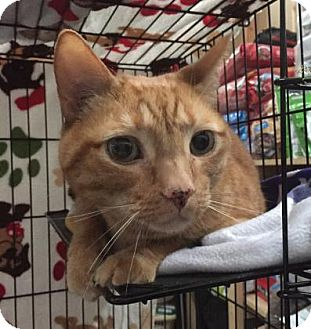 Domestic Shorthair Cat for adoption in Centerville, Georgia - Tiger