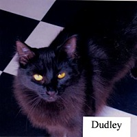Domestic Shorthair Cat for adoption in El Dorado Hills, California - Dudley