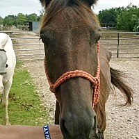 Quarterhorse Mix for adoption in Hitchcock, Texas - Ada