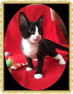 Domestic Shorthair Kitten for adoption in Mt. Prospect, Illinois - Darrin