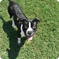 American Staffordshire Terrier Mix Dog for adoption in Chattanooga, Tennessee - Shooley