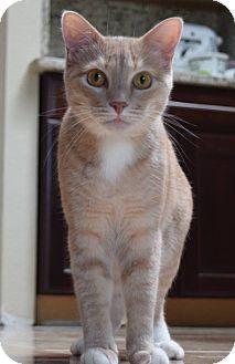 Domestic Shorthair Cat for adoption in Flower Mound, Texas - Sammy