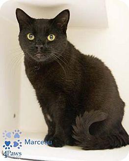 Domestic Shorthair Cat for adoption in Merrifield, Virginia - Marceau