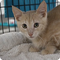 Domestic Shorthair Kitten for adoption in Sarasota, Florida - Nizzard