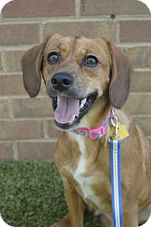 Beagle Mix Dog for adoption in Germantown, Tennessee - Ally McBeagle