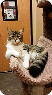 Domestic Mediumhair Kitten for adoption in Chino Hills, California - Charlotte