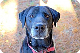 Labrador Retriever Dog for adoption in Lake City, Michigan - Dog ID# 2064