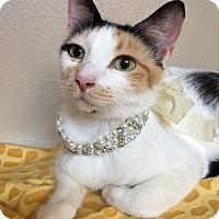Calico Cat for adoption in Pasadena, Texas - Chantel