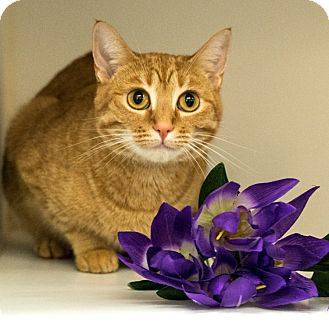 Domestic Shorthair Cat for adoption in Houston, Texas - Fran