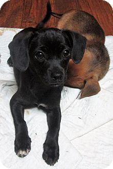 Chihuahua/Beagle Mix Puppy for adoption in Trenton, New Jersey - Toby