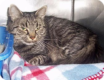 Domestic Mediumhair Cat for adoption in Fall River, Massachusetts - BABY