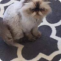 Adopt A Pet :: Cloud - Beverly Hills, CA