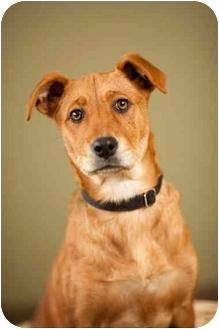 Labrador Retriever Mix Puppy for adoption in Portland, Oregon - Biscuit