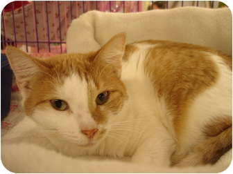 Domestic Shorthair Cat for adoption in Chesapeake, Virginia - Nori