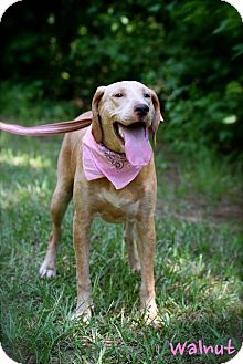 Hound (Unknown Type) Mix Dog for adoption in Wilmington, Delaware - Walnut
