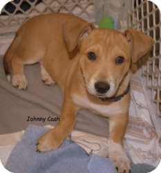 German Shepherd Dog/Basset Hound Mix Puppy for adoption in Alpharetta, Georgia - Johnny Cash