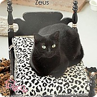 Domestic Shorthair Cat for adoption in St Louis, Missouri - Zeus