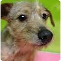 Adopt A Pet :: Perla - pasadena, CA
