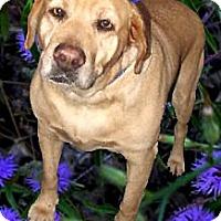 Adopt A Pet :: Sasha sweetest gal - Sacramento, CA