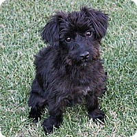 Adopt A Pet :: Amy - La Habra Heights, CA