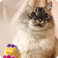 Adopt A Pet :: Sapphire - Foothill Ranch, CA