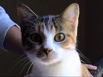 Calico Cat for adoption in Tyler, Texas - A-Lady