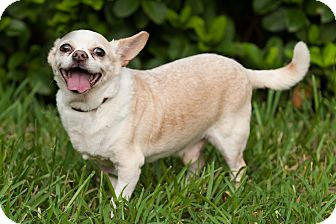 Chihuahua Mix Dog for adoption in Palm Harbor, Florida - Big Boy