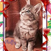 Adopt A Pet :: Fluffy - Harrisburg, NC