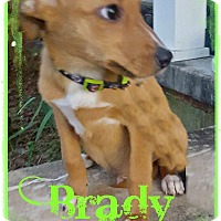 Adopt A Pet :: Brady in CT - Manchester, CT