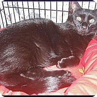 Domestic Shorthair Cat for adoption in Colmar, Pennsylvania - Toby