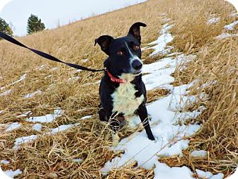 Border Collie Mix Dog for adoption in Omaha, Nebraska - Austin