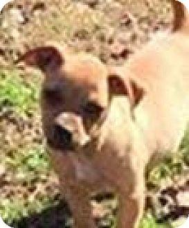 Chihuahua Mix Puppy for adoption in McKinney, Texas - Bindi