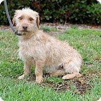 Adopt A Pet :: Gallagher - San Diego, CA