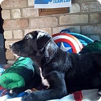 Adopt A Pet :: Captain White Toes - Houston, TX
