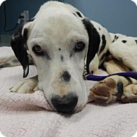 Dalmatian Dog for adoption in Gardena, California - Prince