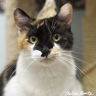 Domestic Shorthair Cat for adoption in Los Angeles, California - Sierra