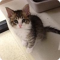 Adopt A Pet :: Candy Girl - Warren, OH