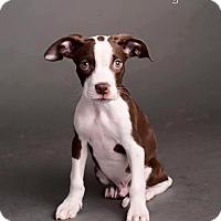 Adopt A Pet :: Wyatt - Scottsdale, AZ