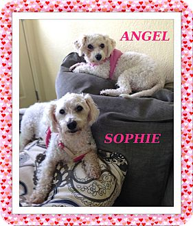Bichon Frise Dog for adoption in Tulsa, Oklahoma - Sophie and Angel - KY
