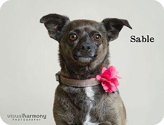 Chihuahua/Dachshund Mix Dog for adoption in Chandler, Arizona - Sable