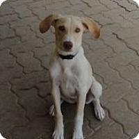 Adopt A Pet :: Cheyanne - Bedford, TX