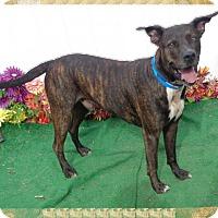 Dutch Shepherd/Plott Hound Mix Dog for adoption in Marietta, Georgia - RAMBO