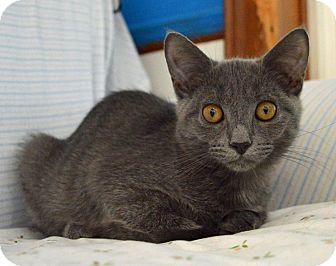 Domestic Shorthair Kitten for adoption in Middletown, New York - Smokey
