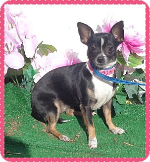 Chihuahua Dog for adoption in Marietta, Georgia - TUMBLEWEED (R)
